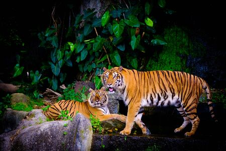 indochinese tiger in the open zoo