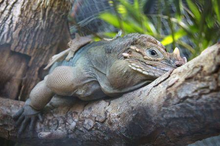 Big horn iguana Stock Photo - 7046962