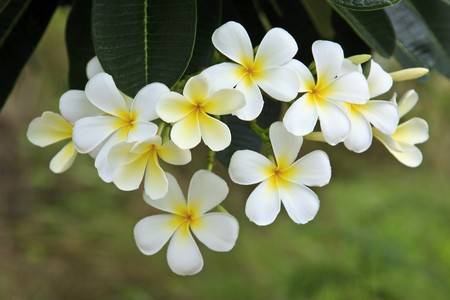 Plumeria alba flowers on blur background Stock Photo - 7179749