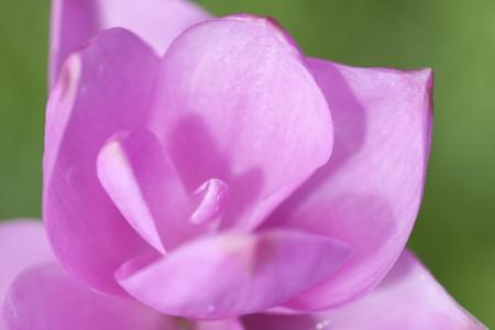 curcuma: Blooming curcuma (Curcuma alismatifolia)
