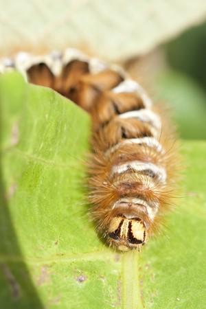 Macro hairy caterpillar  photo