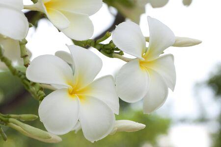 Plumeria alba flowers on blur background