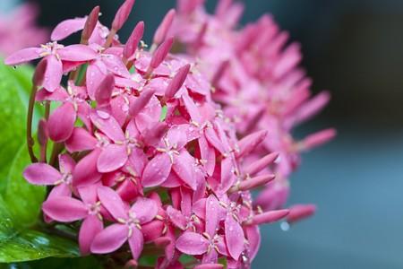 Full broom pink ixora flowers