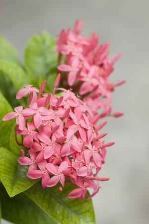 stamin: Full broom pink ixora flowers
