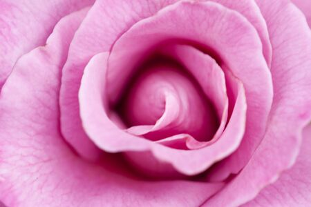 Close up of a single pink rose  Banco de Imagens