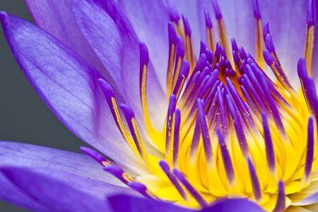 Close up purple water lily Banco de Imagens