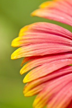 Macro background of beautiful gerbera flower petals Stock Photo - 7464168