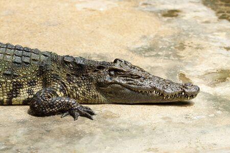Large crocodile resting Stock Photo - 7464172