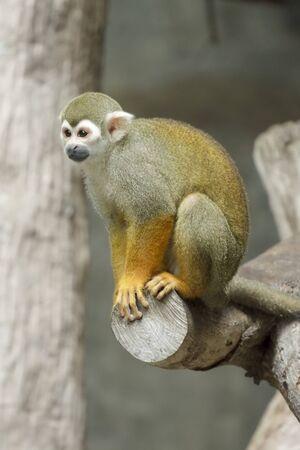 sciureus: Squirrel monkey, Saimiri sciureus