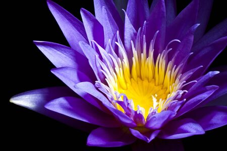 blooming purple: Purple water lily on black background Stock Photo
