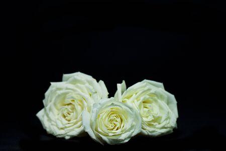 Three yellow rose on black background Banco de Imagens