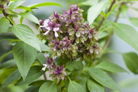 flower of sweet basil