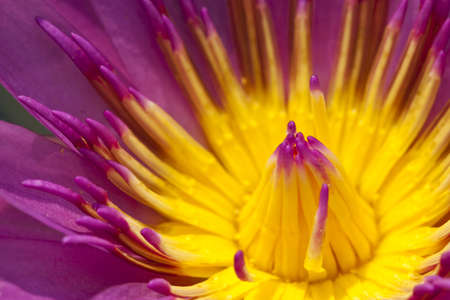 Close up violet water lily