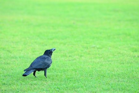 Crow resting on green grass field