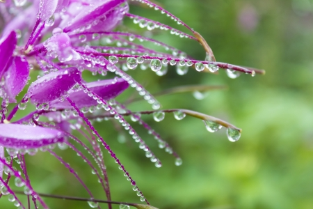 Drops of water on Spider fllower cleome