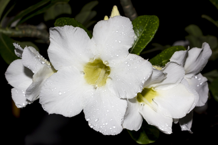 Desert Rose-Impala Lily- Mock Azalea Beautiful White flowers photo