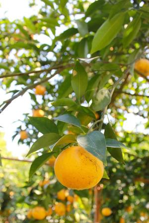 treed: Orange Fruit, on the tree