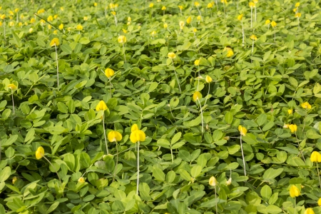 Creeping perennial legume forming a dense mat, 10 to 20cm deep  Banco de Imagens