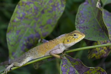 moustached: Lizards are a widespread group of squamate reptiles, with more than 9,766 species