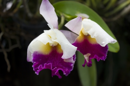 Cattleyas are among the most beautiful of orchid flowers  Often used in corsages and wedding bouquets their blooms can last several weeks to a month or more  Miniature cattleyas have increased in popularity because of their ease in growing on windowsills