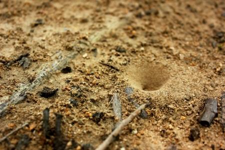 Sandy soil: El cono sobre la vivienda de las hormigas negras de excavaci�n en un suelo arenoso