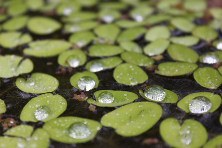 polypodiopsida: Salvinia natans, or Water Butterfly Wings, covered in water droplets reflecting the sunlight while floating in a pond