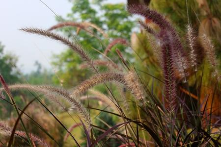Pennisetum setaceum Stock Photo