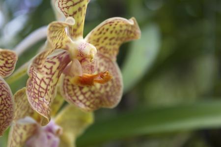 vanda: Vanda flower  Stock Photo