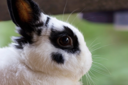 View of rabbit, close-up (White-black Netherland dwarf rabbit) photo