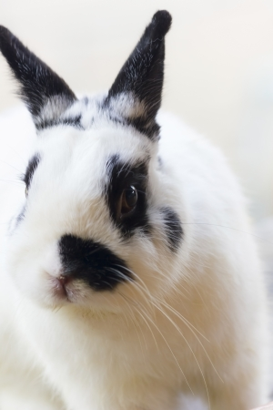 View of rabbit, close-up  White-black Netherland dwarf rabbit  photo