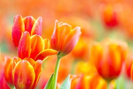 Red Orange Yellow Tulips flower shot from below close up with tulip Foto de archivo
