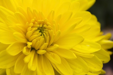 extensively: Gerbera  is a genus of ornamental plants from the sunflower family  Asteraceae   It was named in honour of the German botanist and naturalist Traugott Gerber  who travelled extensively in Russia and was a friend of Carolus Linnaeus  Stock Photo