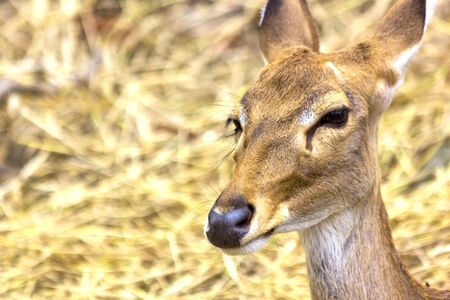 Portrait of female deer outdoors in the Ching mai Zoo  photo