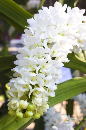 Pink or purple Rhynchostylis Gigantea orchids in thailand   photo