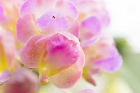 Pink or purple Rhynchostylis Gigantea(orchids in thailand). photo