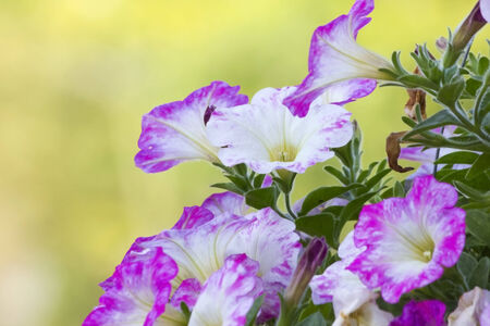 Petunias are one of the most popular type of annual   photo
