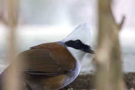 white crested laughingthrush: Beautiful white-crested laughingthrush (Garrulax leucolophus) at Chiang Mai Zoo, Chaing Mai Thaland.