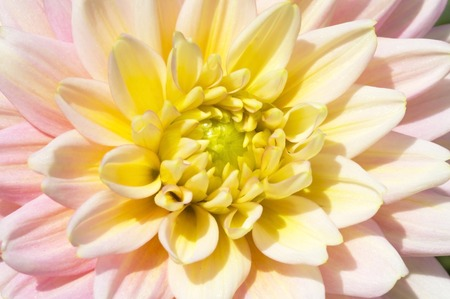varying: The Dahlia flower consists of numerous delicate petals that encircle a central yellow core known as the capitulum or floral head  Dahlias can be grown in varying shades of white, yellow, orange, red, pink and purple  Stock Photo