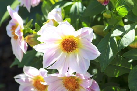 The Dahlia flower consists of numerous delicate petals that encircle a central yellow core known as the capitulum or floral head  Dahlias can be grown in varying shades of white, yellow, orange, red, pink and purple  Stock Photo