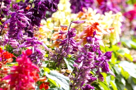 perennials: Salvias are a large group of garden plants that includes annuals, biennials, perennials, and shrubs.  Stock Photo