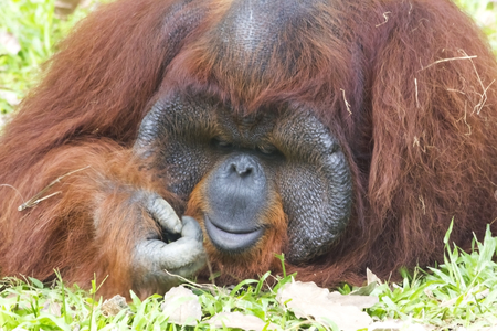 Orangutan (Pongo pygmaeus). Native to Indonesia and Malaysia, orangutans are currently found only in the rainforests of Borneo and Sumatra. photo