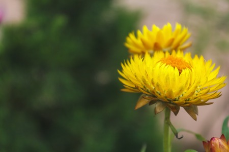 everlasting: Everlasting flower (Helychrysum bracteatum) with natural background. Stock Photo