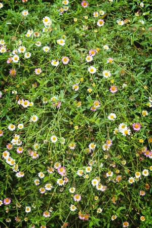 Many white daisies flower in top view of meadow. photo