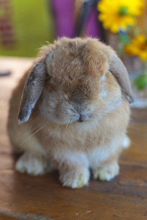 lop: Holland lop rabbit sitting on wood floor Stock Photo