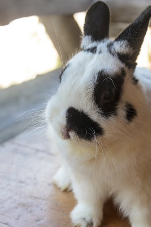 View of rabbit. close-up (White-black Netherland dwarf rabbit). Side view of Netherland Dwarf rabbit. photo