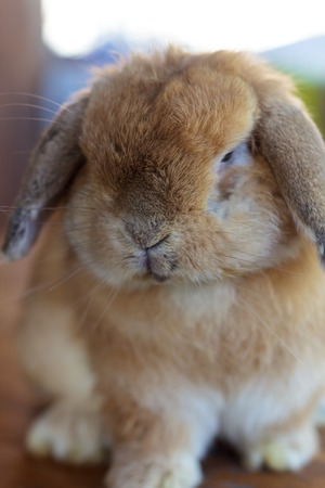 Holland lop rabbit sitting on wood floor photo