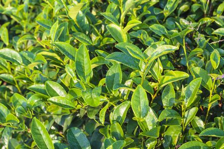 Close up of green tea leaves in tea plantation in the morning. photo