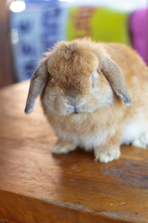 lop: Holland lop rabbit sitting on wood floor Stock Photo