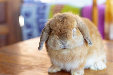 Holland lop rabbit sitting on wood floor photo