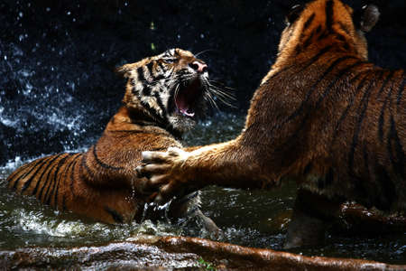 animals in the wild: Tiger Attack to other tiger